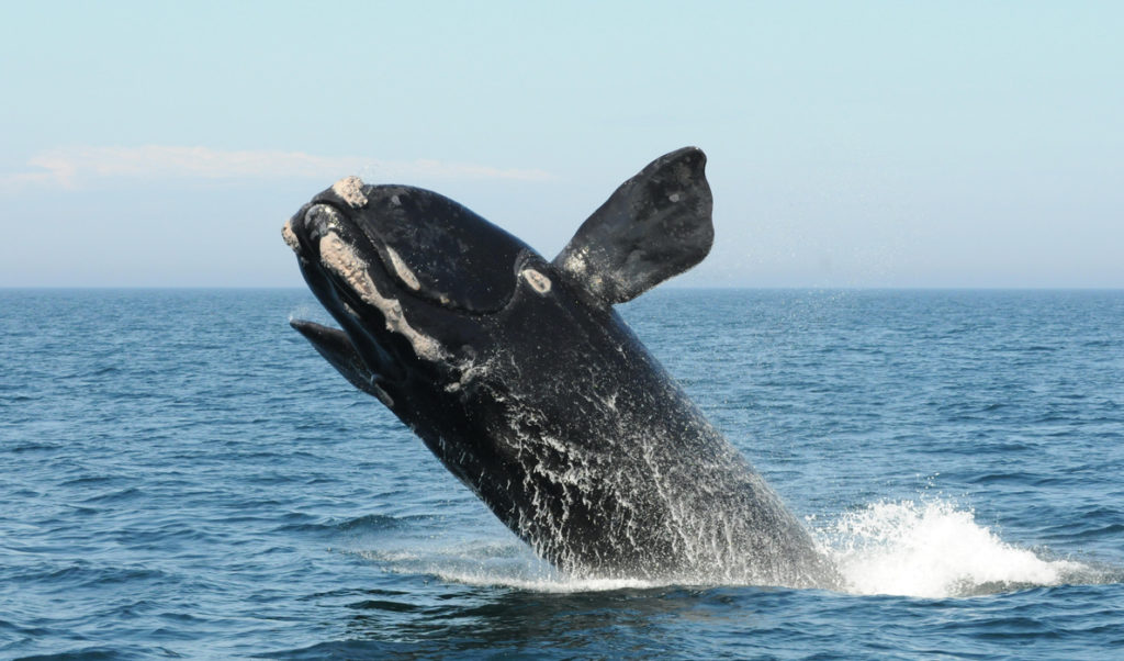A North Atlantic right whale breaches in the Bay of Fundy.