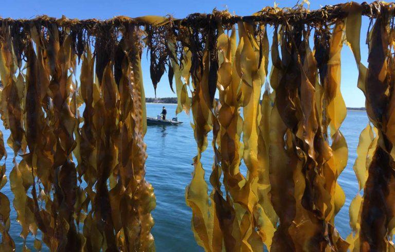 Kelp hangs from lines.