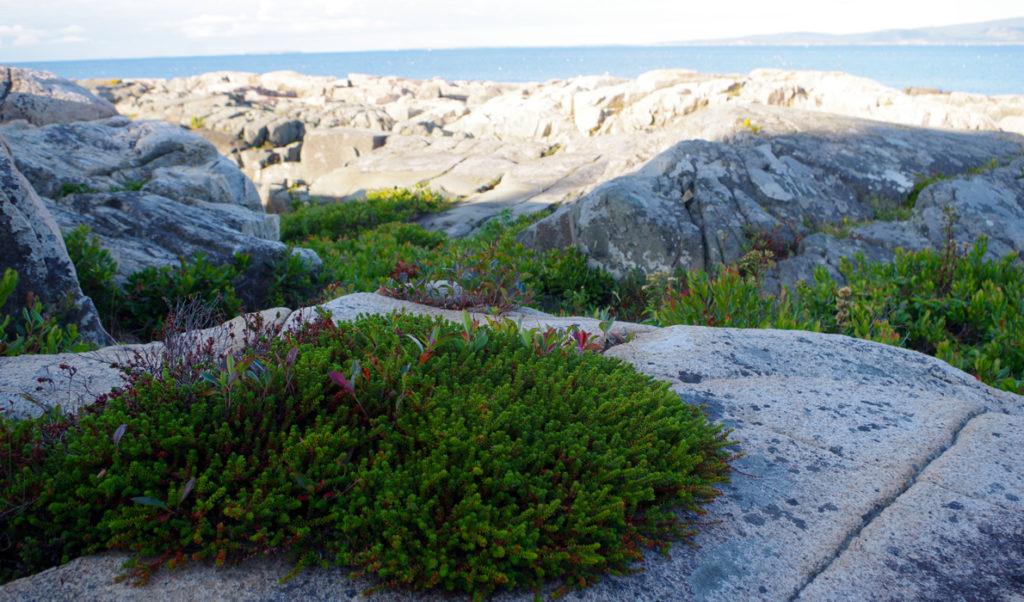 Black crowberry on the Schoodic Peninsula.