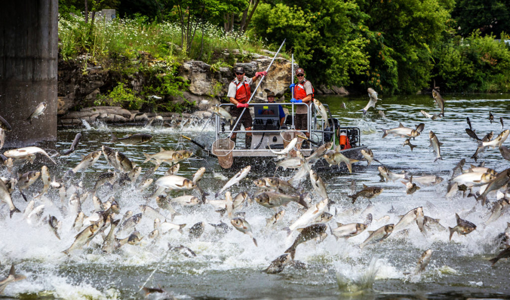 Silver carp jump in the Fox River.