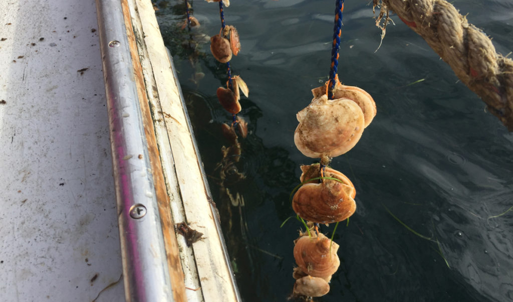 Scallops being grown on ropes.