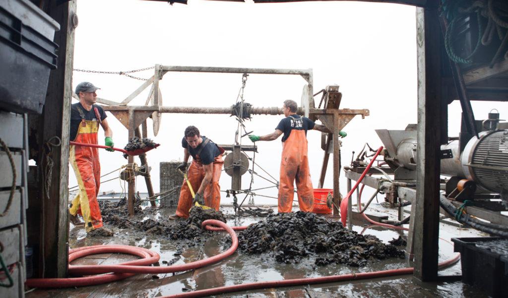 Harvesting mussels.