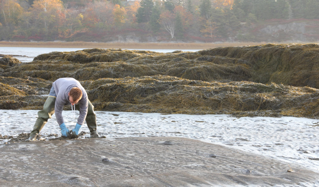 Chris Warner inspects the restoration design or Manomet's pioneer soft-shell clam farming experiment.
