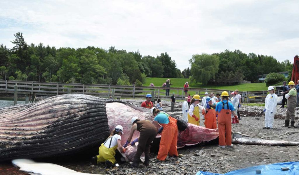 A necropsy is performed on the whale that washed up dead on Mount Desert Island in early June.