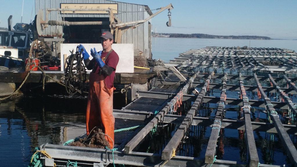 Bangs Island Mussels rafts