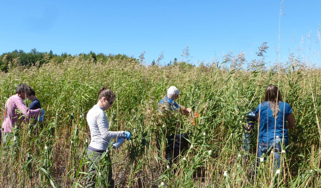 Volunteers work at removing phragmites.