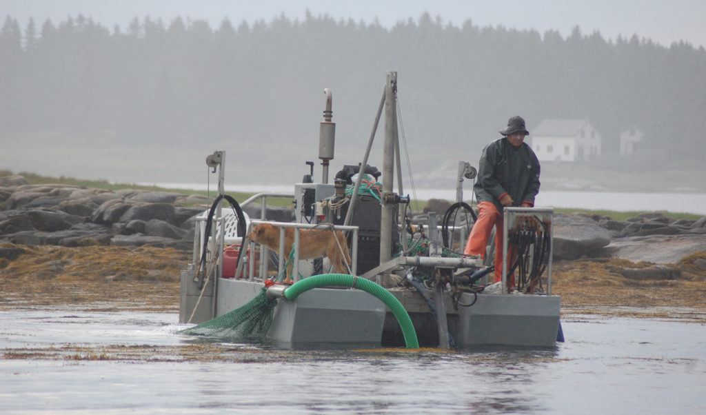 Tenants Harbor lobsterman Hale Miller harvests seaweed in Muscle Ridge Channel in Penobscot Bay.
