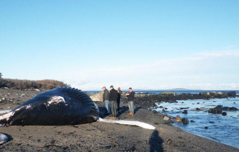 The dead humpback