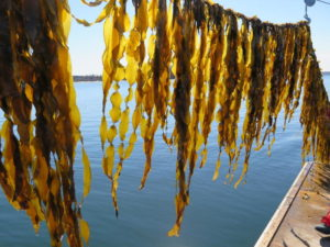 Juvenile sugar kelp on an Ocean Approved farm in the Gulf of Maine