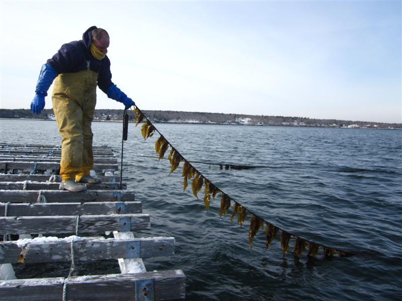 Kelp being grown on a line.