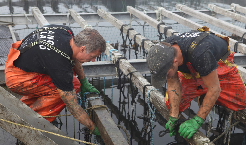 Workers harvest mussels at a aquaculture operation in Southern Maine.