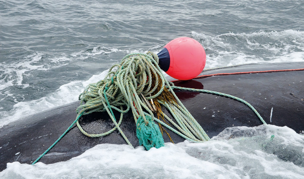A right whale entangled by fishing gear in Canadian waters.