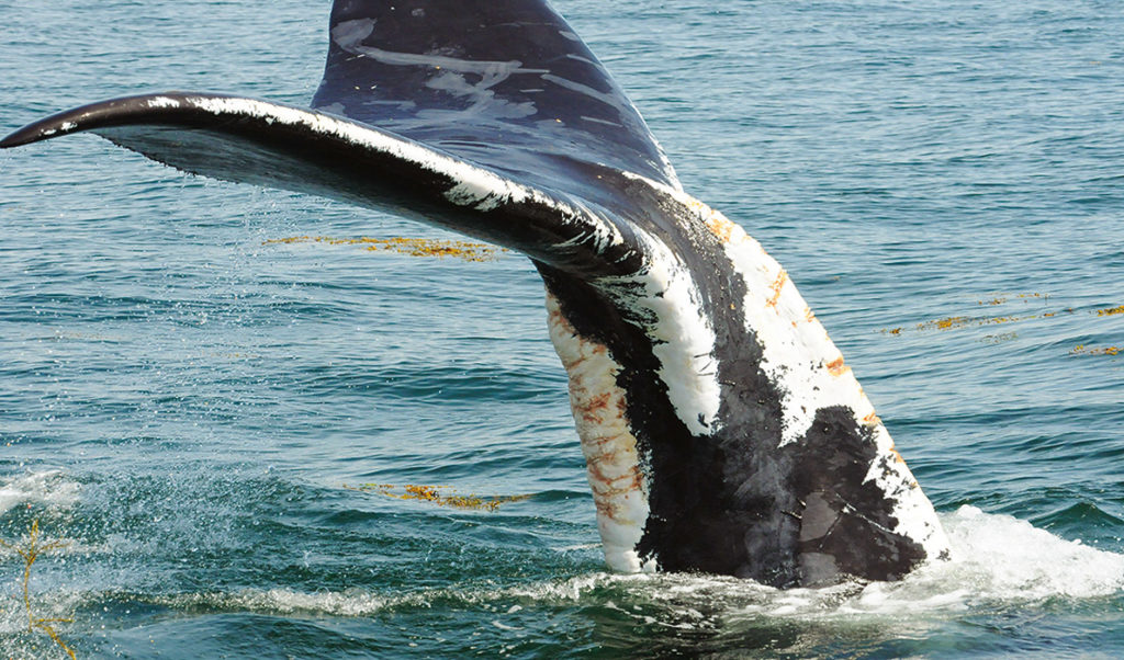 A right whale that has recovered from wounds linked to fishing gear.