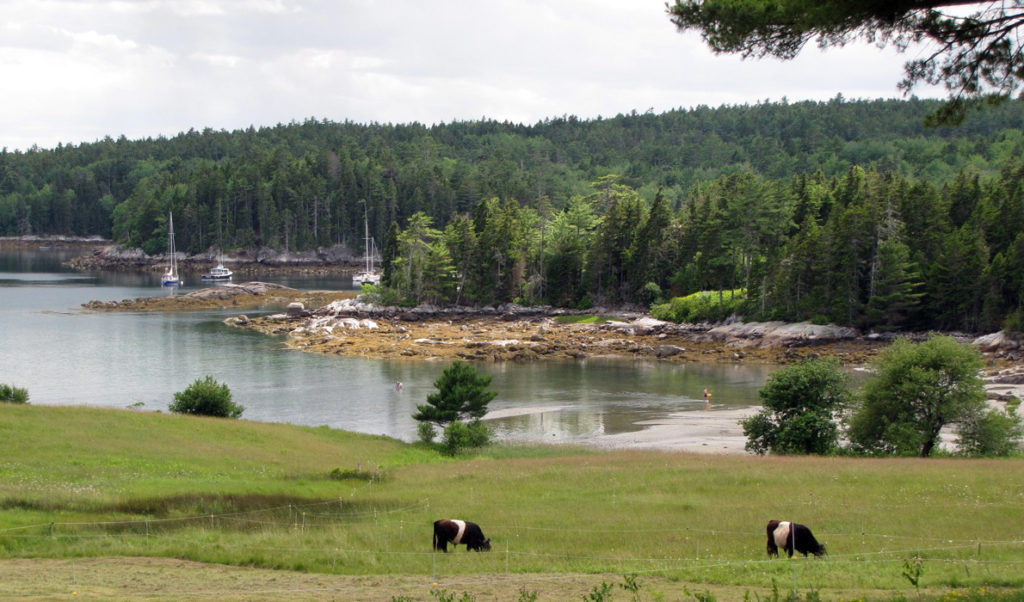 Belted Galloways graze in East Blue Hill at the head of Blue Hill Bay.