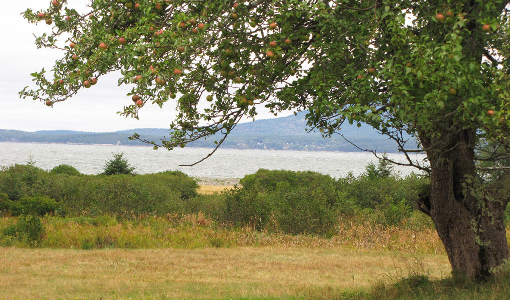 An apple tree on Swan's Island