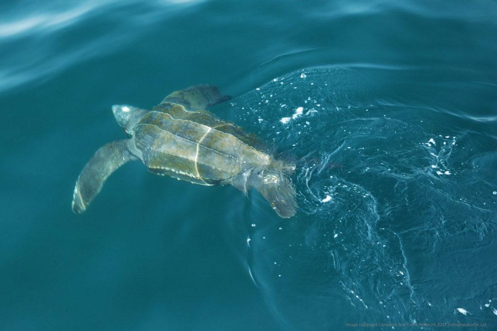 Leatherback turtle.