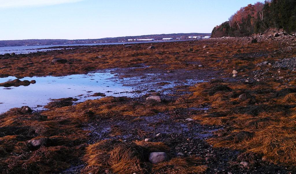 Low tide on the west side of Sears Island in Searsport.