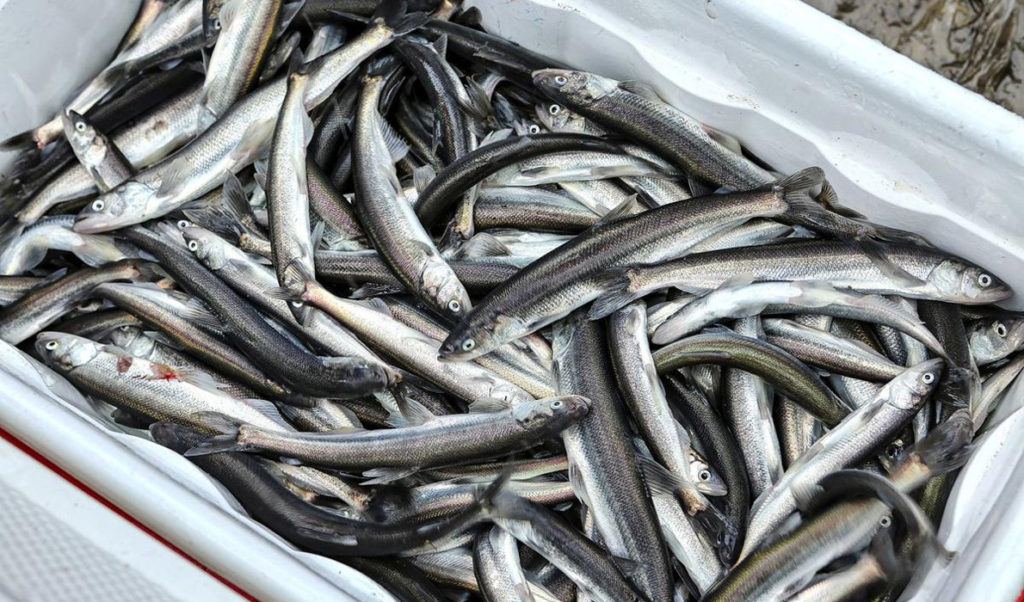 Smelt caught in Maine.