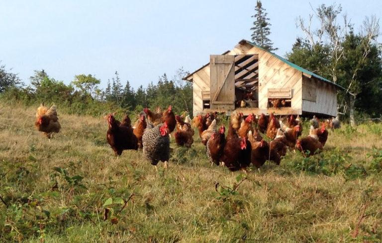 Chickens on Vinalhaven's Sparkplug Farm