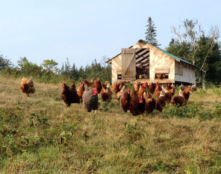 Chickens on Vinalhaven's Sparkplug Farm