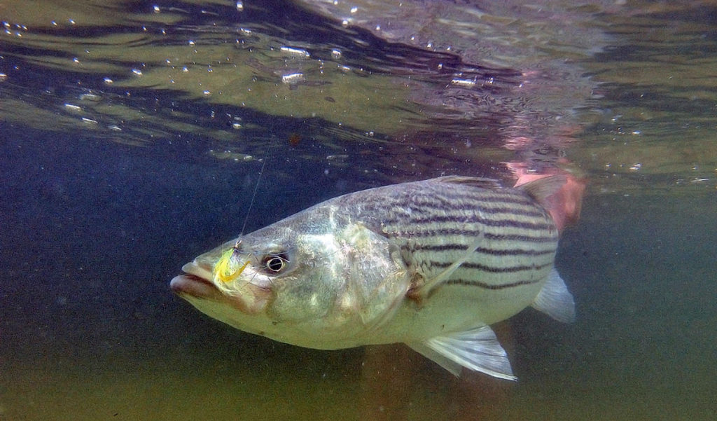 A striped bass hooked on a lure.